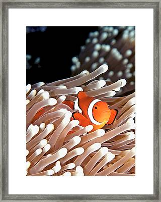 False Clown Anemonefish Framed Print by Copyright Melissa Fiene