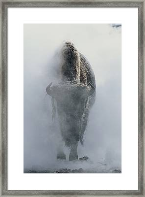 Ghostly Bison In Steam During Winter Framed Print by Norbert Rosing