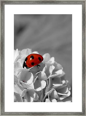 Lady Bug Sc Framed Print by Martina Fagan
