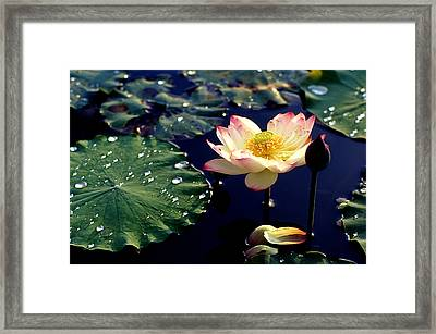 Lotus In Water Framed Print by Lian Wang