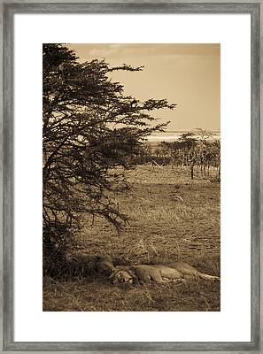 Male Lions Snoozing In Shade Framed Print by Darcy Michaelchuk