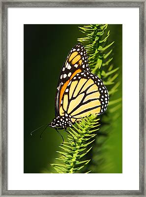Monarch Butterfly Framed Print by The Photography Factory