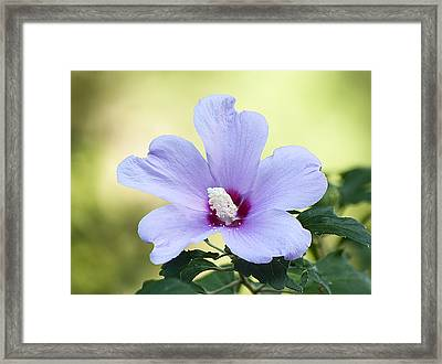 Purple Althea Framed Print by Kenneth Albin