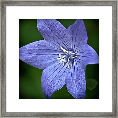 Purple Balloon Flower Framed Print by  Onyonet  Photo Studios
