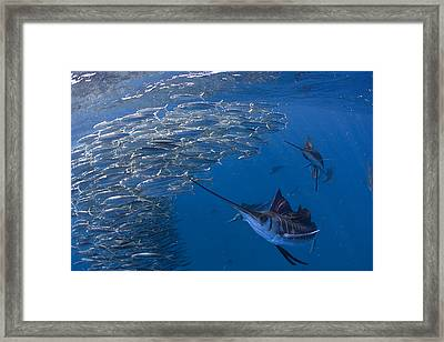 Sailfish Hunt Sardines Using Framed Print by Paul Nicklen