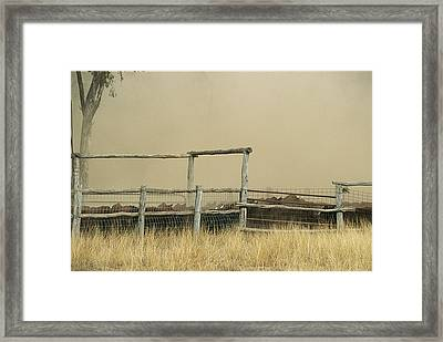 Santa Gertrudis Cattle Create A Dust Framed Print by Jason Edwards