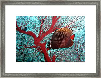 Sea Fan And Butterflyfish Framed Print by Takau99