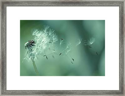 Seeds Of Dandelion Framed Print by Florence Barreau