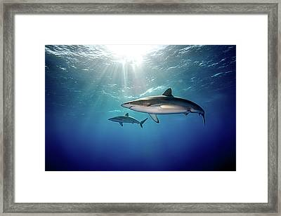 Silky Sharks Framed Print by James R.D. Scott