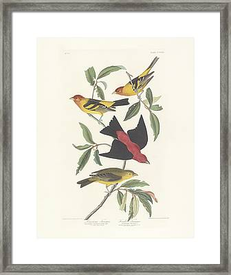 Tanagers Framed Print by John James Audubon