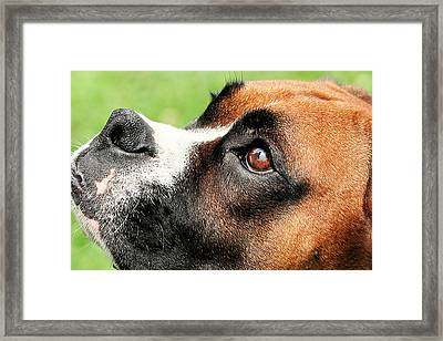 Thinking Of You - Boxer - Vindy Framed Print by Renae Laughner