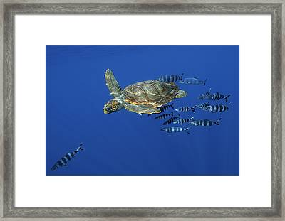 Trailed By Pilotfish, A Young Framed Print by
