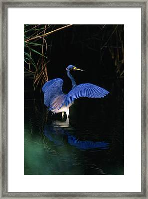Tri-colored Heron - Fs000031 Framed Print by Daniel Dempster