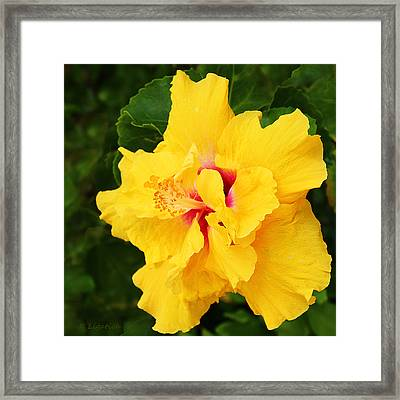 Yellow Double Hibiscus Framed Print by Kerri Ligatich