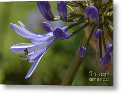 Agapanthus Lily In Pacific Beach Metal Print by Anna Lisa Yoder