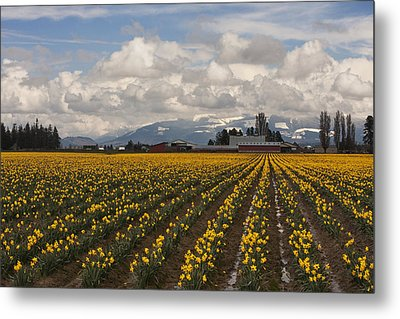 Daffodils Forever Metal Print by Mark Kiver