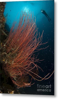 Grand Sea Whip With Diver Metal Print by Steve Jones