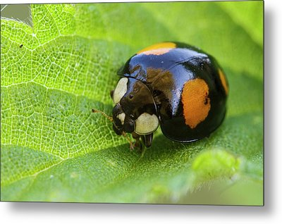 Harlequin Ladybird Metal Print by Heath Mcdonald