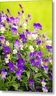 Pansies Metal Print by Elena Elisseeva