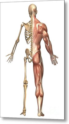 The Human Skeleton And Muscular System Metal Print by Stocktrek Images