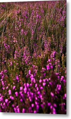 August Field Metal Print by Svetlana Sewell