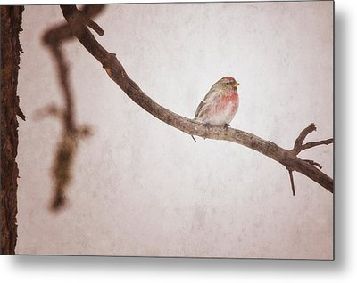 A Redpoll Bird On The Branch Of A Pine Metal Print by Roberta Murray