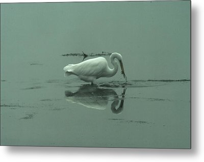 An Egret Feeding Metal Print by Jeff Swan