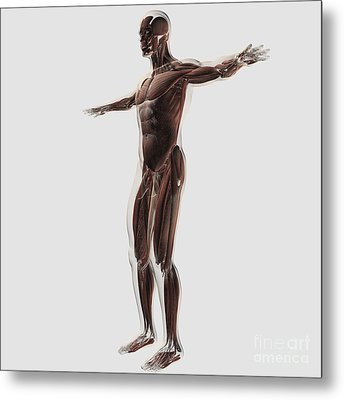 Anatomy Of Male Muscular System, Side Metal Print by Stocktrek Images