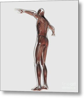 Anatomy Of Male Muscular System Metal Print by Stocktrek Images