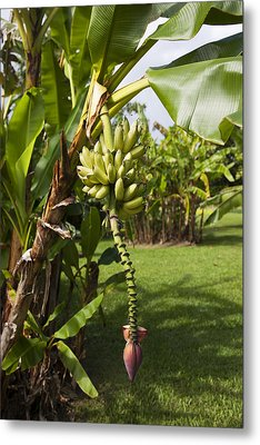 Banana Tree Metal Print by Jenna Szerlag