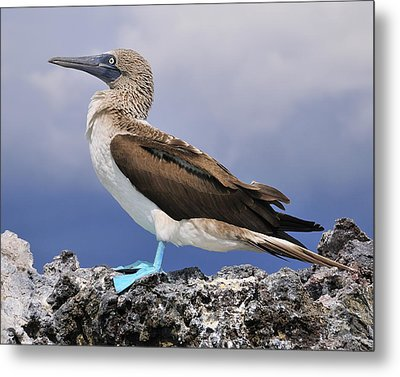 Blue-footed Booby Metal Print by Tony Beck