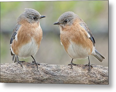 Bluebird Gossip Metal Print by Bonnie Barry