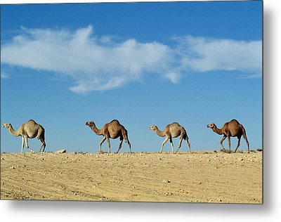 Camel Train Metal Print by Anonymous