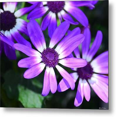 Cineraria Metal Print by Maria Urso