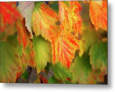 Close Up Of Colourful Leaves Changing Metal Print by Jenna Szerlag