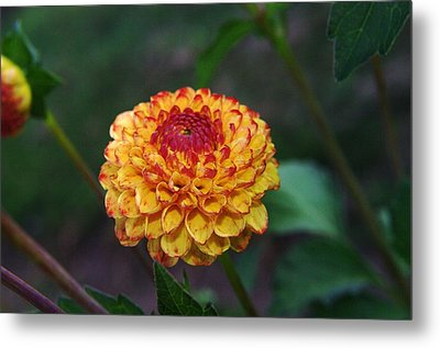 Dahlia Metal Print by Jeff Swan
