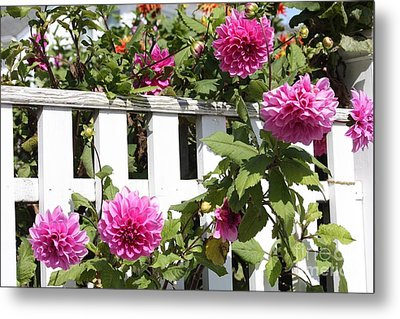 Dahlias Over The Fence Metal Print by Carol Groenen