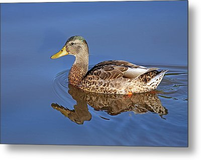 Duck Metal Print by Jim Nelson