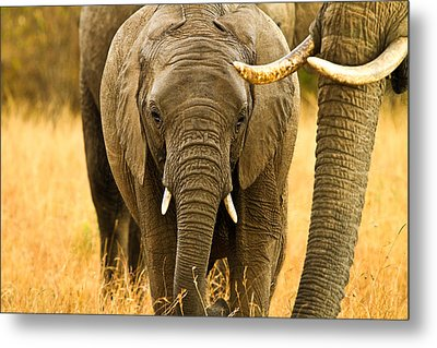 Elephant Family Metal Print by Kongsak Sumano