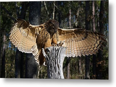 Eurasian Eagle Owl Coveting His Prey Metal Print by Paulette Thomas