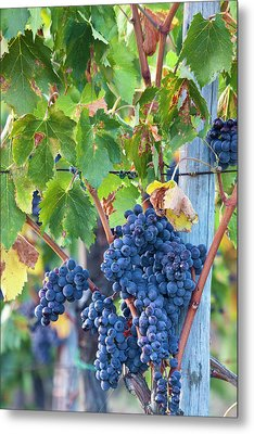 Grapes Ready For Harvest On The Tuscan Metal Print by Terry Eggers