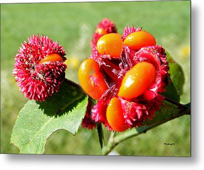 Hearts-a-bursting Seed Pods Metal Print by Duane McCullough