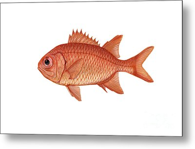 Illustration Of A Brick Soldierfish Metal Print by Carlyn Iverson