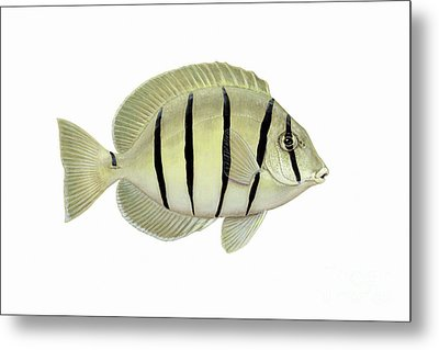 Illustration Of A Convict Tang Fish Metal Print by Carlyn Iverson