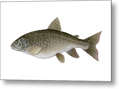 Illustration Of A Lake Trout Salvelinus Metal Print by Carlyn Iverson