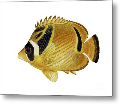Illustration Of A Raccoon Butterflyfish Metal Print by Carlyn Iverson