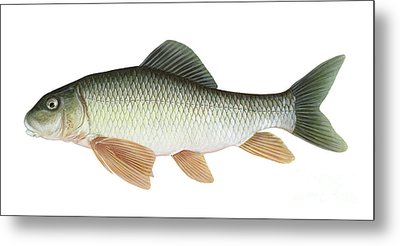 Illustration Of A Silver Redhorse Metal Print by Carlyn Iverson