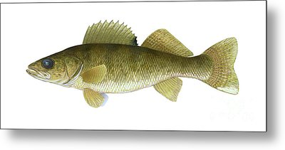 Illustration Of A Walleye Sander Metal Print by Carlyn Iverson