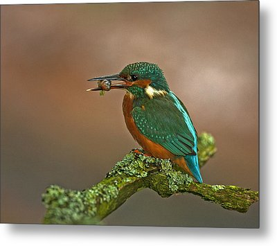 Kingfisher With Stickleback Metal Print by Paul Scoullar