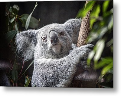 Koala Bear Metal Print by Tom Mc Nemar